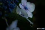 紫陽花の涙