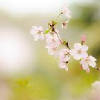 NIKON NIKON D700で撮影した(パステルな春)の写真(画像)