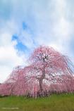 垂れ梅の園