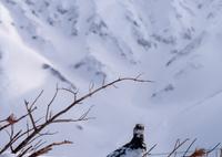 富山の県鳥
