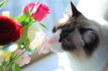 ラグドールに花束を