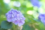 紫陽花 ー明ー
