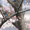 桜カワセミ 花バック編その2