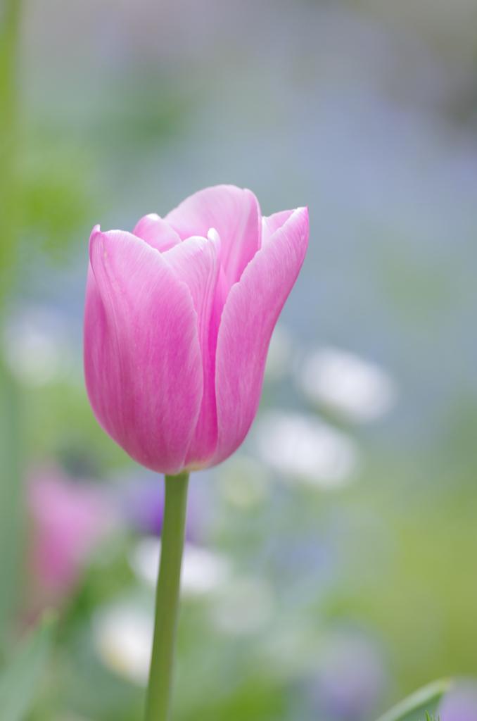 我が家の春「チューリップ」