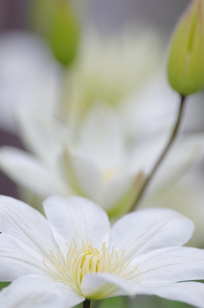 我が家の春「クレマチス」2