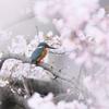桜カワセミ 開花編その3