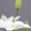 我が家の春「クレマチス」1