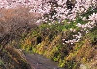 OLYMPUS E-M1で撮影した(春めく小川)の写真(画像)