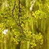 色付く銀杏と柳の雨