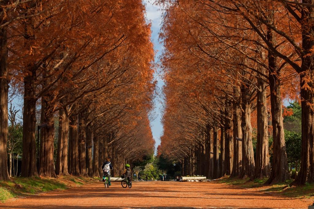 冬のメタセコイア並木道