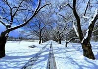 CANON Canon EOS 5D Mark IIIで撮影した(雪の桜並木)の写真(画像)