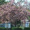 牡丹桜01