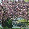 牡丹桜04