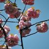 牡丹桜05
