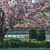 牡丹桜03