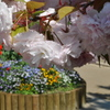 牡丹桜06