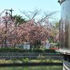 牡丹桜02