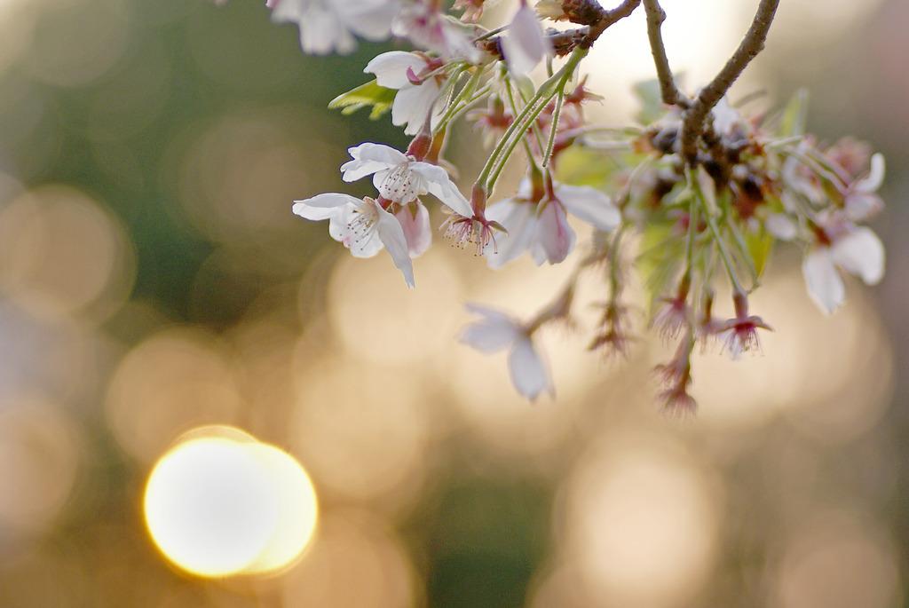 桜と光 1
