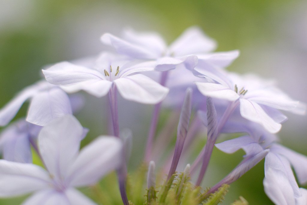 薄い紫の花