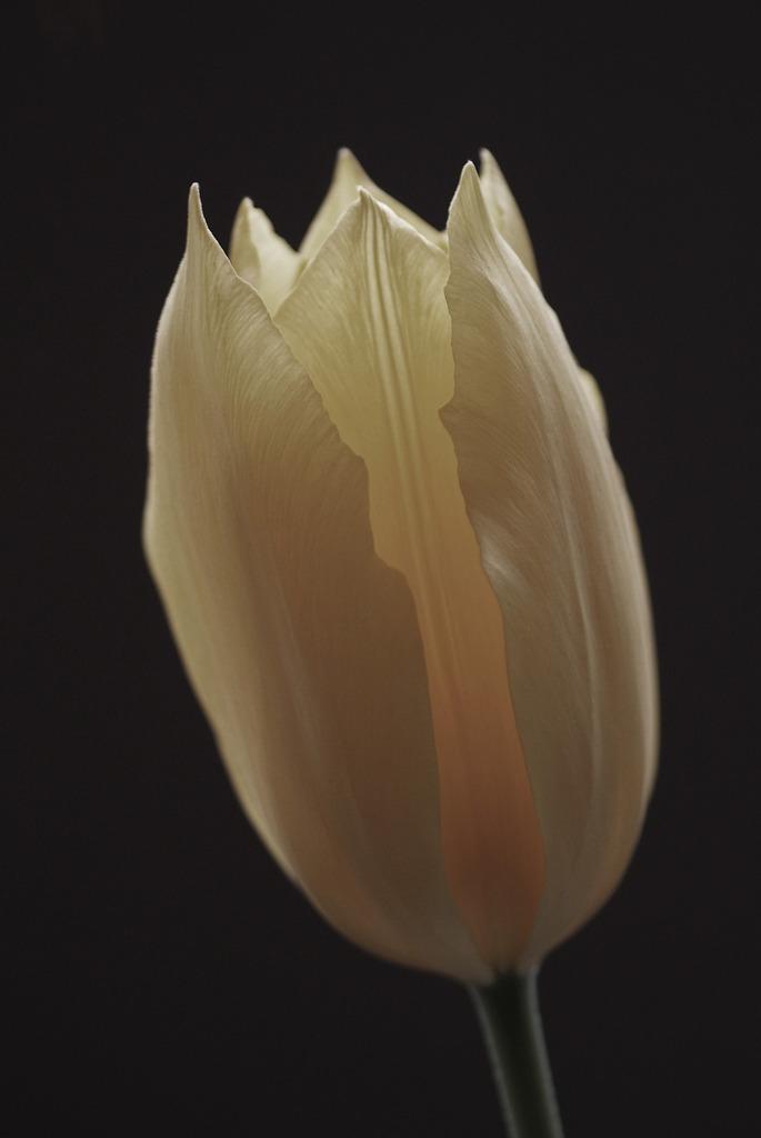チューリップ 開花