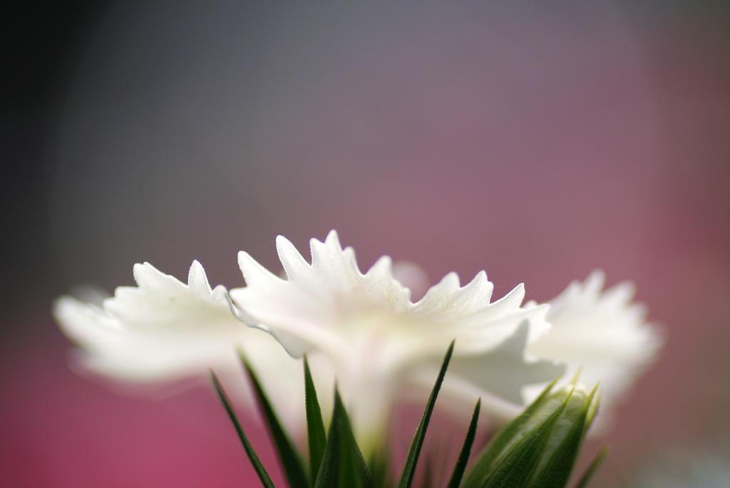 花びらの白い色は・・・