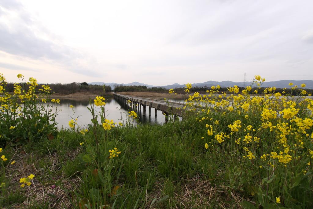 菜の花と潜水橋