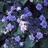 紫陽花 鎌倉