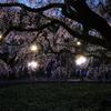 しだれ夜桜