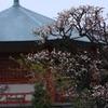 龍眼寺の梅