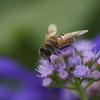 公園の花 ~ミツバチ
