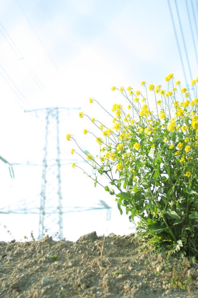 菜の花と鉄塔