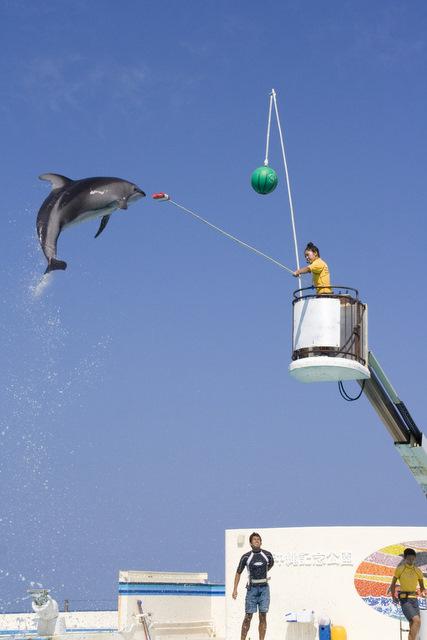 ミナミハンドウイルカの大ジャンプ