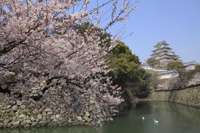 姫路城と桜と時々スワン