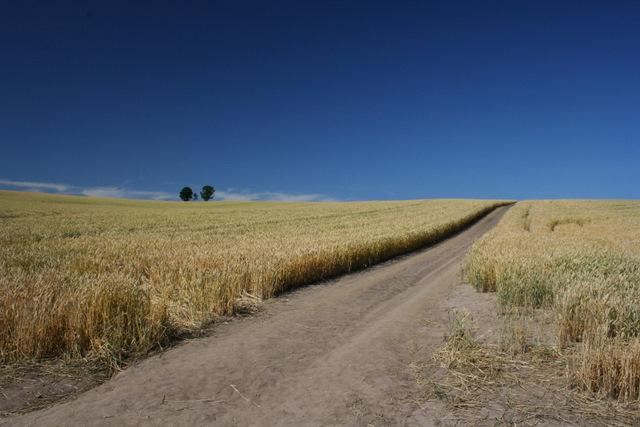 親子の木と麦畑
