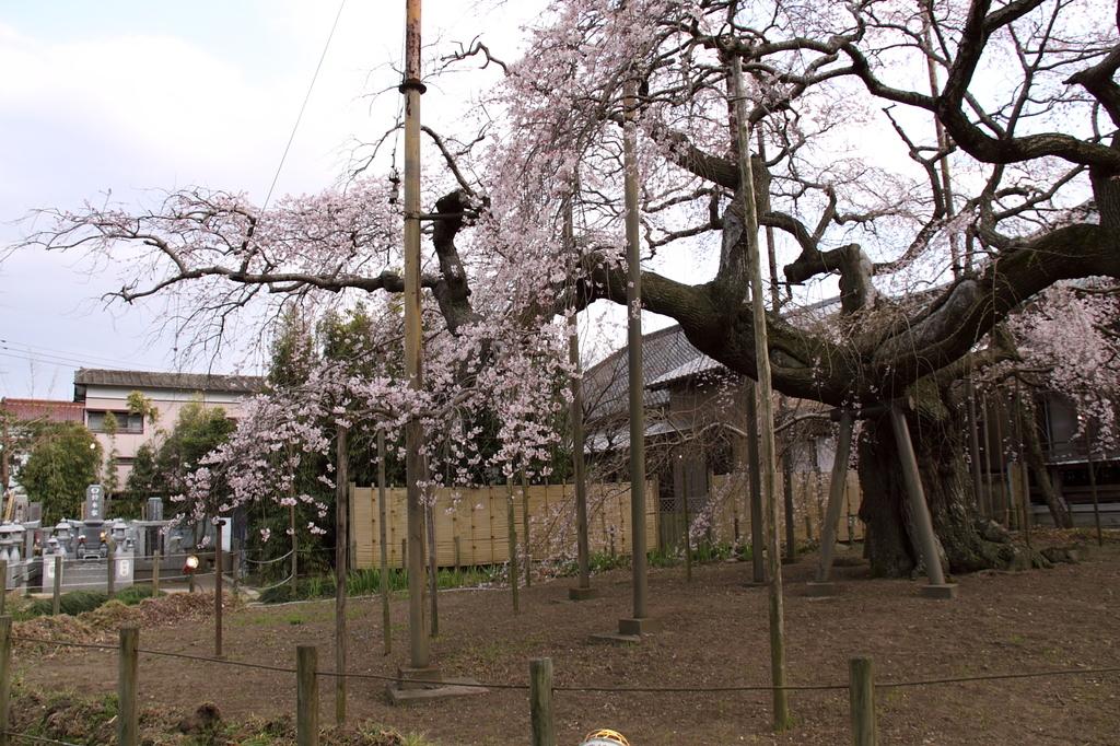 樹齢400年(3)