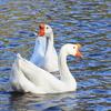 水鳥(1)