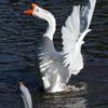 水鳥(3)