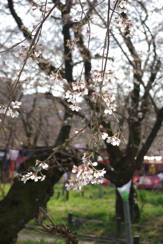 平野神社の桜-0903