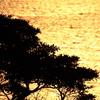 黄金の海原