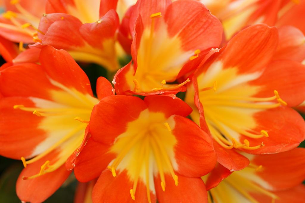 オレンジ花