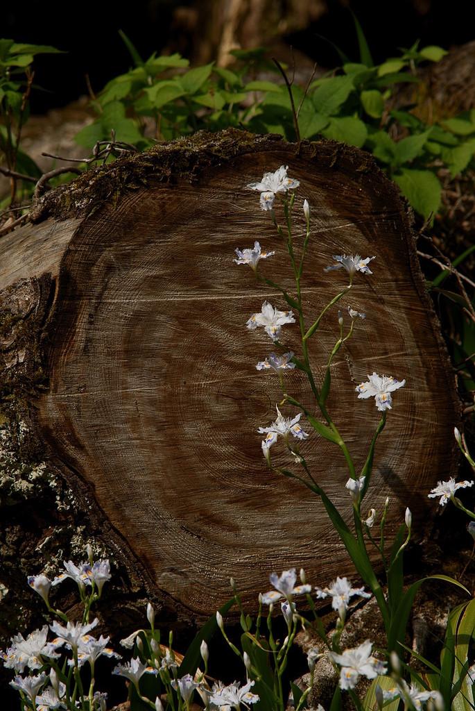 シャガ咲く森