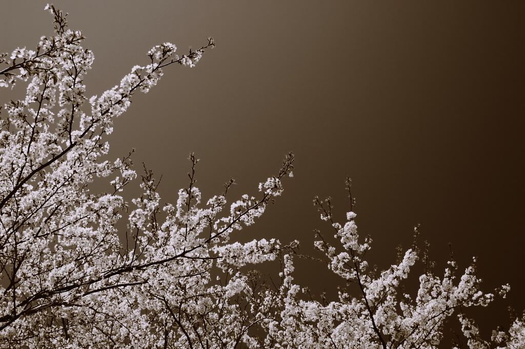 sakura memory