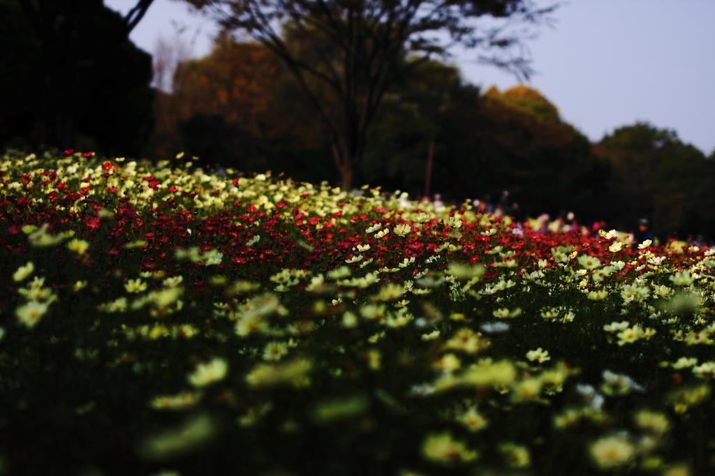 コスモス 赤い帯