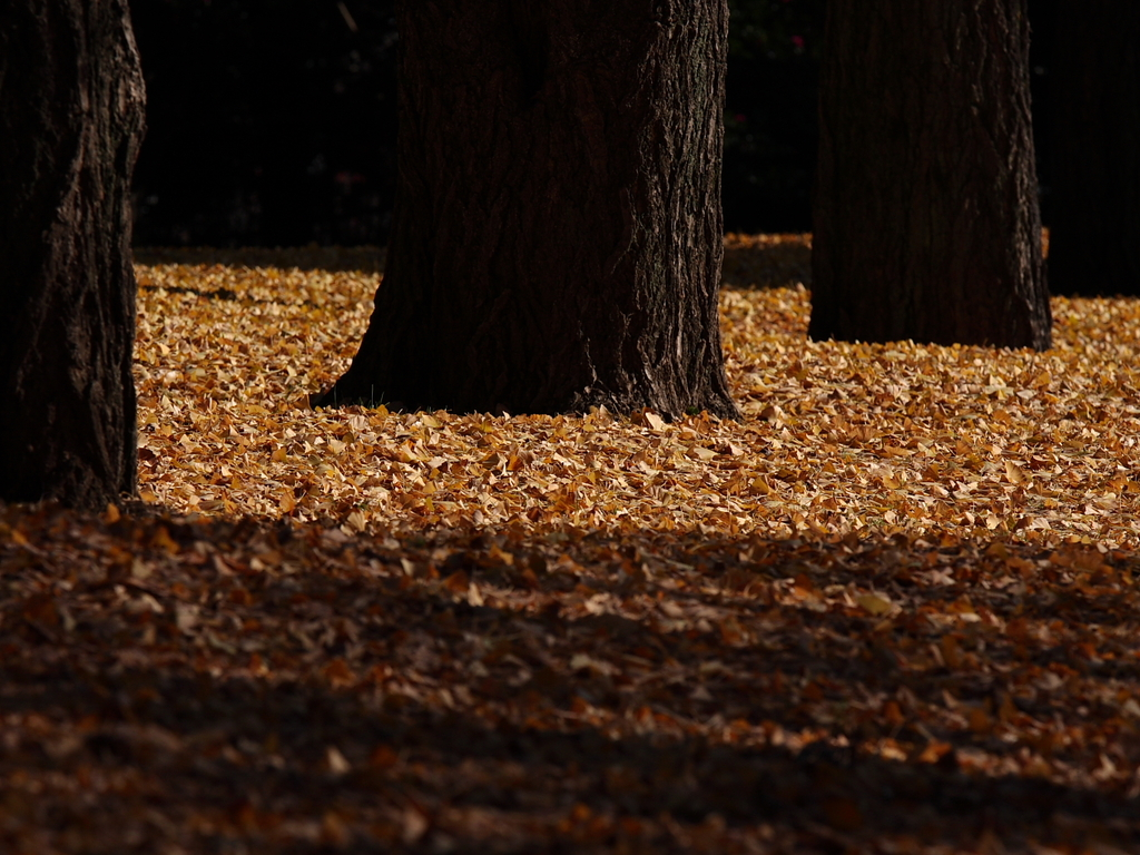 銀杏落葉絨毯