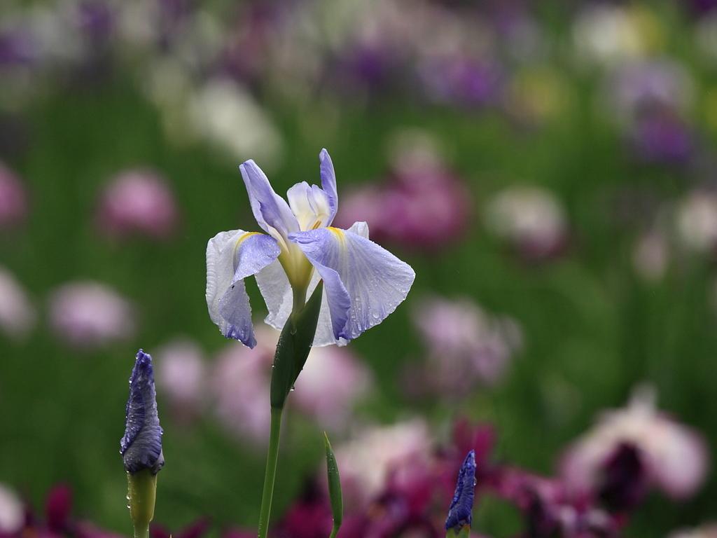 花菖蒲 花とつぼみ