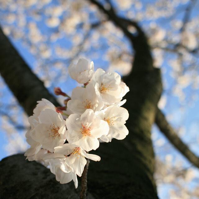 「桜」陽春