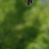 カワセミ ホバリング