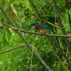 カワセミ 幼鳥
