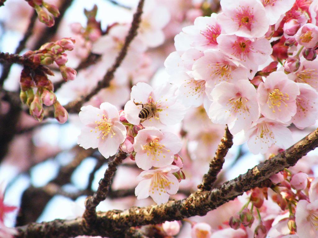 桜の蜜に誘われて