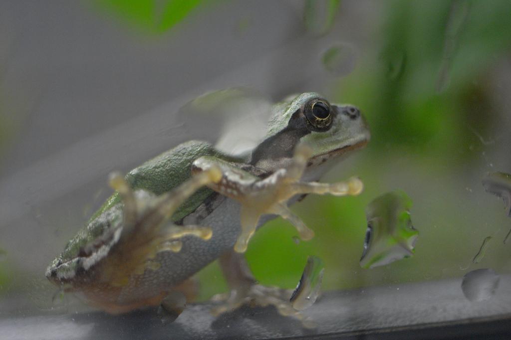 雨の日に窓にはカエル